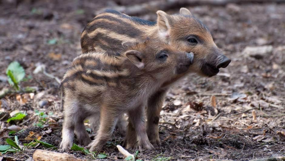 In Italien gehören Wildschweine beinahe zur Familie