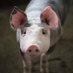 Fleischkonzern Tönnies: Hundertfach Gesundheitszeugnisse gefälscht!